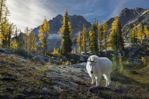Adult Male Mountain Goat Near Horseshoe Lake in the Alpine Lakes Wilderness, Mt. Stuart Behind by Gary Luhm