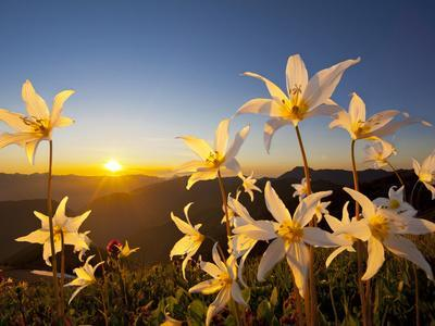 Avalanche Lilies (Erythronium Montanum) at Sunset, Olympic Nat'l Park, Washington, USA