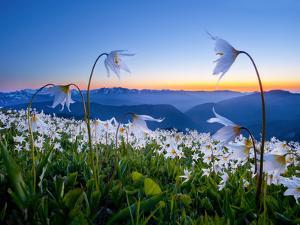 Avalanche Lilies (Erythronium Montanum) at Sunset, Olympic Nat'l Park, Washington, USA by Gary Luhm