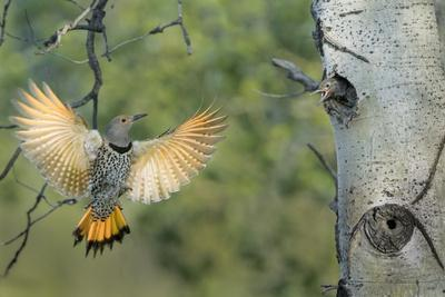 Canada, British Columbia. Northern Flicker flies to nest hole in aspen tree.