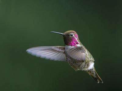 USA, WA. Male Anna's Hummingbird (Calypte anna) displays its gorget while hovering in flight.