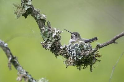 USA. Washington State. Anna's Hummingbird broods her young chicks in a cup nest.