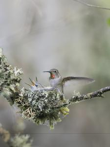 USA. Washington State. Anna's Hummingbird lands at cup nest with chicks. by Gary Luhm