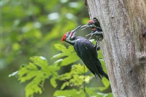 USA. Washington State. Male Pileated Woodpecker feeds begging chicks by Gary Luhm