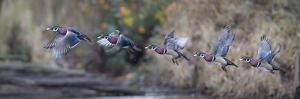 USA, Washington State. Sequence flight of an male Wood Duck by Gary Luhm