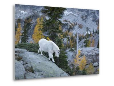 Washington, Adult Mountain Goat Steps Down a Rock Face in the Alpine Lakes Wilderness