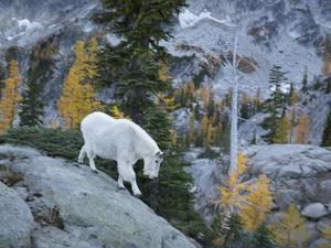 Washington, Adult Mountain Goat Steps Down a Rock Face in the Alpine Lakes Wilderness by Gary Luhm