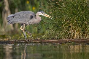 Washington, Great Blue Heron Stalks for Food on Union Bay, Lake Washington, Seattle by Gary Luhm