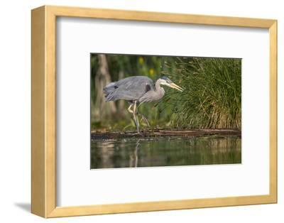Washington, Great Blue Heron Stalks for Food on Union Bay, Lake Washington, Seattle