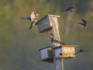 Washington, Lake Sammamish. Wood Duck Male and Female Visit Nestboxes Occupied by Purple Martin by Gary Luhm
