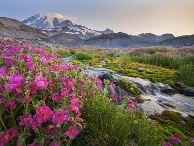 Washington, Lewis's Monkeyflower Along Panorama Trail and Paradise River, Mt. Rainier National Park
