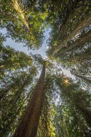 Washington, Looking Up Toward Tall, Mature, Old Growth Conifers at Grove of the Patriarchs