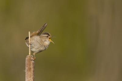 Washington, Male Marsh Wren Sings from a Cattail in a Marsh on Lake Washington