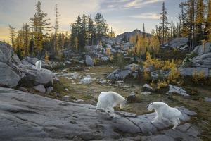 Washington, Mountain Goat Family Near Horseshoe Lake in the Alpine Lakes Wilderness by Gary Luhm