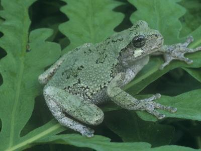 Gray Treefrog (Hyla Versicolor), Eastern USA by Gary Meszaros