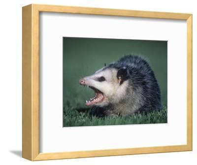 Opossum Showing its Teeth (Didelphis Marsupialis), USA