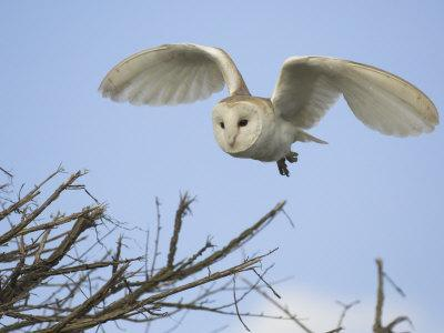 Barn Owl Hunting Along Roadside Hedge, Norfolk, UK