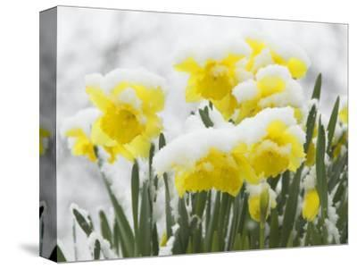 Daffodils Flowers Covered in Snow, Norfolk, UK