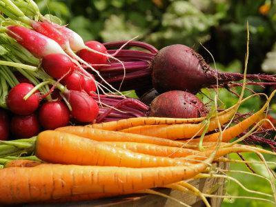 Freshly Harvested Carrots, Beetroot and Radishes from a Summer Garden, Norfolk, July