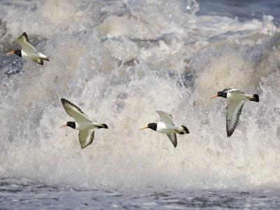 Oystercatchers in Flight over Breaking Surf, Norfolk, UK, December