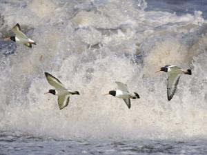 Oystercatchers in Flight over Breaking Surf, Norfolk, UK, December by Gary Smith