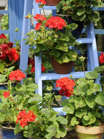 Rustic Garden Geranium Feature, Geranium Plants in Full Bloom on Blue Painted Wooden Stepladder, UK