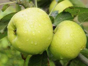 The Nelson' Apples on Apple Tree Norfolk, UK by Gary Smith