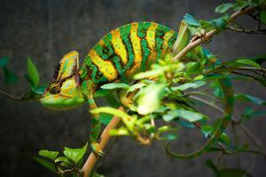 Veiled Chameleon by Gaschwald