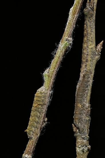 Gastropacha Quercifolia (Lappet Moth) - Caterpillars Camouflaged on Twigs-Paul Starosta-Photographic Print