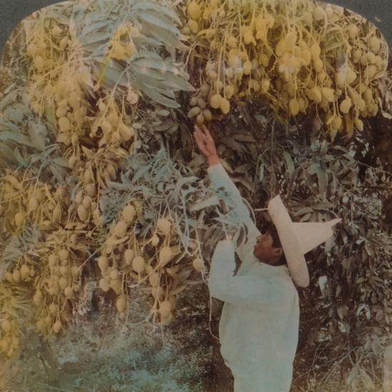 'Gathering luscious fruit from a heavily laden mango tree, Cuernavaca, Mexico', 1907-Elmer Underwood-Photographic Print