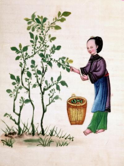 Gathering Mulberry Leaves to Feed Silkworms, 19th Century--Giclee Print