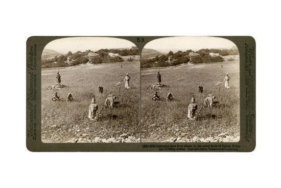 Gathering Tares from Wheat in the Stony Fields of Bethel (Bayti), Palestine, 1900-Underwood & Underwood-Giclee Print