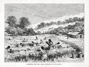 Gathering the Coca Plant (Erythroxylum Coc) in Bolivia, 1877