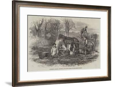 Gathering, Washing, Bunching, and Carting Carrots for the London Market--Framed Giclee Print