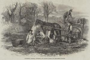 Gathering, Washing, Bunching, and Carting Carrots for the London Market