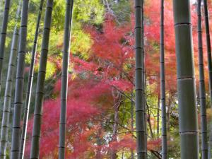 Colourful Maples in Autumn Colours, Arashiyama, Kyoto, Kansai Region, Honshu, Japan by Gavin Hellier