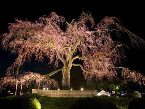 Famous Giant Weeping Cherry Tree in Blossom and Illuminated at Night, Maruyama Park, Kyoto, Honshu by Gavin Hellier