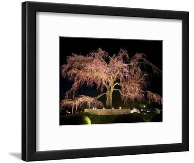 Famous Giant Weeping Cherry Tree in Blossom and Illuminated at Night, Maruyama Park, Kyoto, Honshu