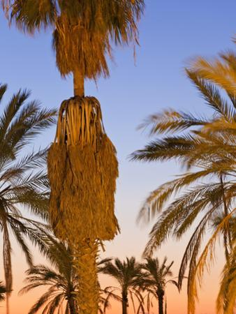 Palm Trees Outside the Old City Walls at Sunset, Jerusalem, Israel, Middle East