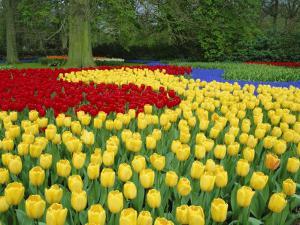 Tulips, Keukenhof Gardens, Netherlands by Gavin Hellier