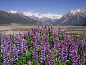 Wild Lupin Flowers (Lupinus) with Birdwood Mountains Behind, South Island, New Zealand by Gavin Hellier