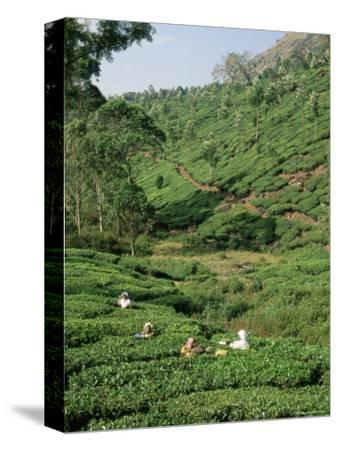 Women Picking Tea in a Tea Plantation, Munnar, Western Ghats, Kerala State, India, Asia