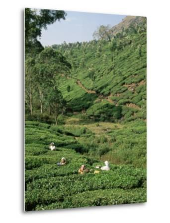 Women Picking Tea in a Tea Plantation, Munnar, Western Ghats, Kerala State, India, Asia