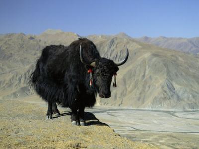 Yak, Tibet, Asia