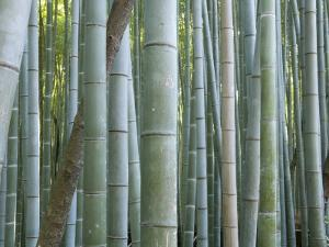 Bamboo Forest, Kyoto, Japan by Gavriel Jecan