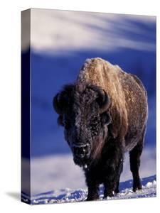 Bison in Yellowstone National Park, Wyoming, USA by Gavriel Jecan