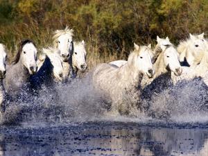 Camargue Horses, Ile Del La Camargue, France by Gavriel Jecan