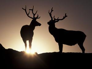 Elk, Rocky Mountains National Park, Colorado, USA by Gavriel Jecan