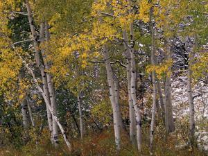 Fall Colors on Aspen Trees, Maroon Bells, Snowmass Wilderness, Colorado, USA by Gavriel Jecan