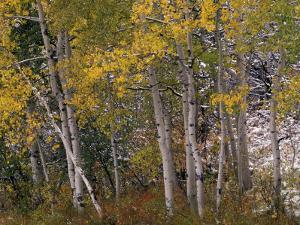 Fall Colors on Aspen Trees, Maroon Bells, Snowmass Wilderness, Colorado, USA by Gavriel Jecan